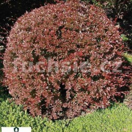 Berberis Thunbergii Red Chief