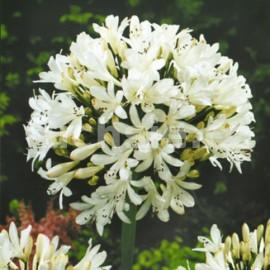 Agapanthus -  bílý