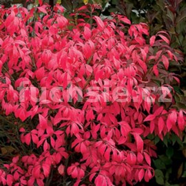 Pieris Montain Fire (Pieris)