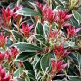 Pieris japonica Little Heat (Pieris)