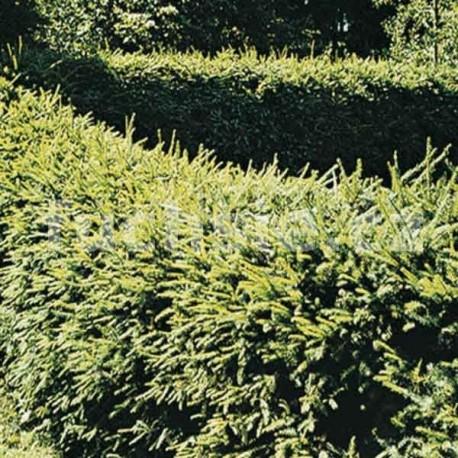 Picea Abies (smrk)