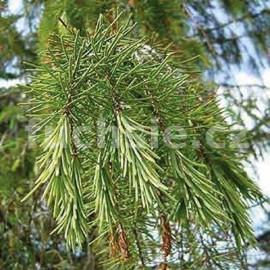 Picea Breveriana