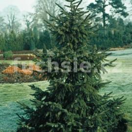Smrk balkánský (Picea Omorika)