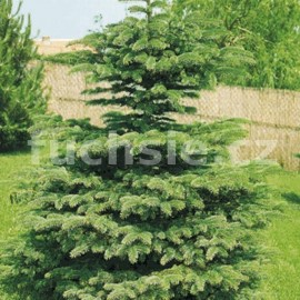 Smrk stříbrný (Picea Pungens Glauca)