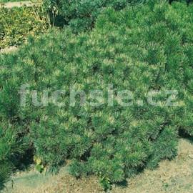 Pinus Mugo Mughus (borovice kleč)