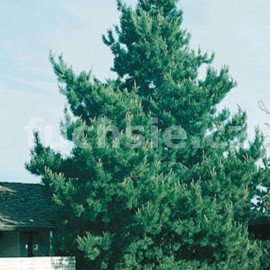 Borovice černá (Pinus Nigra Nigra)