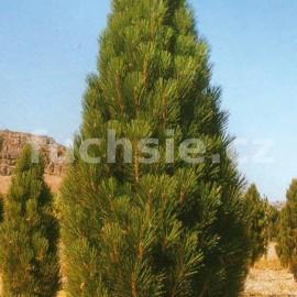 Pinus Nigra Piramidalis (borovice černá)