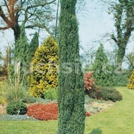 Juniperus comm. Hibernica (Jalovec sloupovitý)
