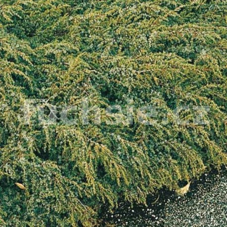 Juniperus Communis Hornibrooki (jalovec poléhavý)