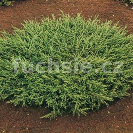 Juniperus Communis Repanda (jalovec polehavý)