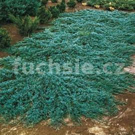Juniperus Horizontal. Wiltonii (jalovec poléhavý)