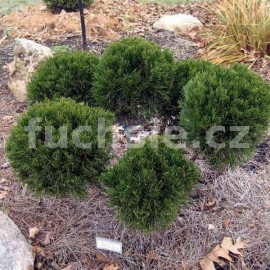 Juniperus Media Mint Julep (Jalovec prostřední)
