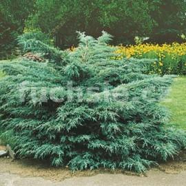 Juniperus Media Pfitz. Glauca (Jalovec keřovitý)