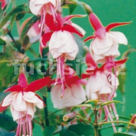 Patio Princess Fuchsie (Sinton  GB  1988)