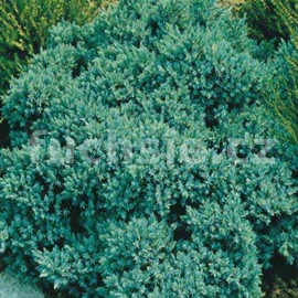 Juniperus Squamata Blue  (Jalovec šupinatý)
