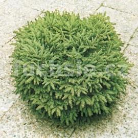 Picea Abies Nidiformis (smrk stepilý)