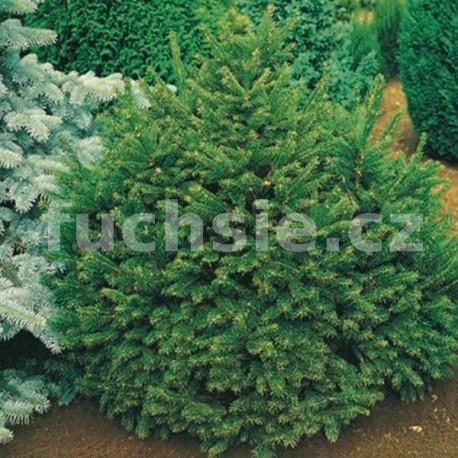 Smrk ztepilý (Picea Abies Ohlendorfi)