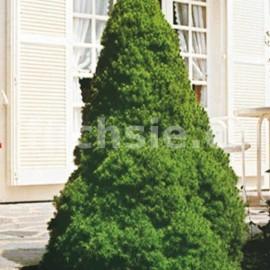 Smrk sivý (Picea Glauca Conica)