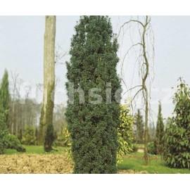 Taxus Baccata Fastigiata