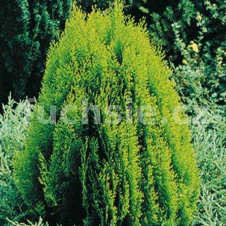 Zerav východní (Thuja Orientalis Aurea Nana)