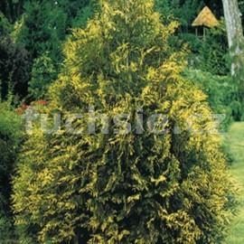 Zerav obrovský (Thuja Plicata Zebrina)