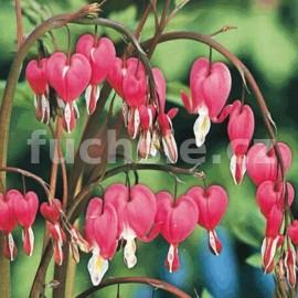 Srdcovka červená (Dicentra Spectabilis)