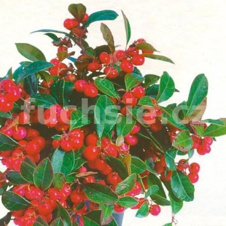 Indiánský penicilin (Gaultheria Proc. Red Baron)