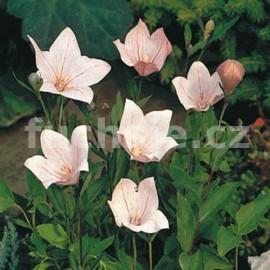 Boubelka růžová (Platycodon Grandiflorus)