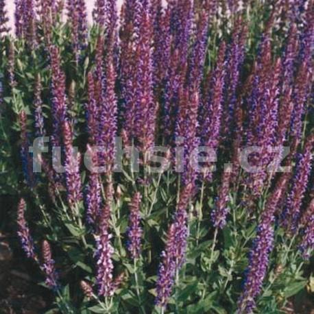 Šalvěj (Salvia Superba Merleau)