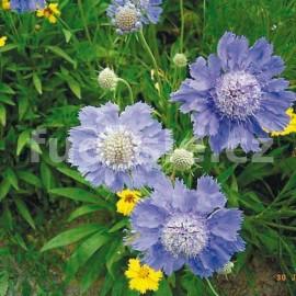 Hlaváč modrý (Scobiosa Japonica Blue Diamo)