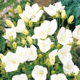 Zvonek bílý (Campanula Carp. Clips White)