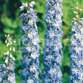 Ostrožka modro bílá (Delphinium Cultorum)