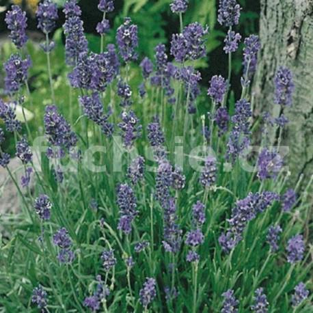 Levandule (Lavandula Angustifolia Blue S.)