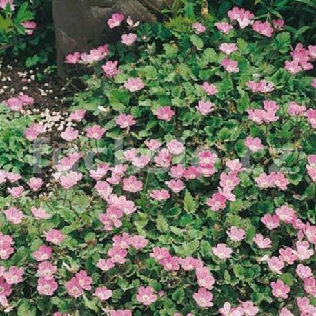 Pumpava (Eroidum Variabile Bishops F.)