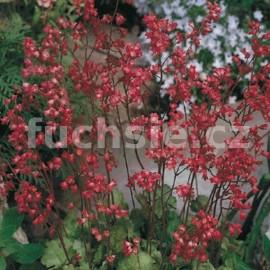 Dlužicha (Heuchera Sanguinea)