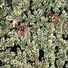 Rozchodník (Sedum Spurium Variegatum)