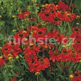 Záplevelák červený (Helenium Autumnale)