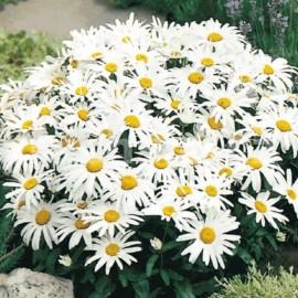 Kopretina (Leucanthemum Maximum)