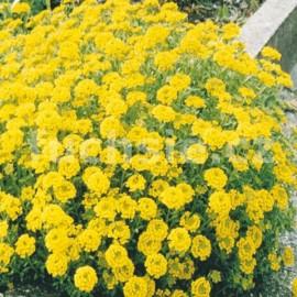 Tařice žlutá (Alyssum Montanum)