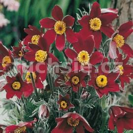 Koniklec červený (Pulsatia Vulgaris)