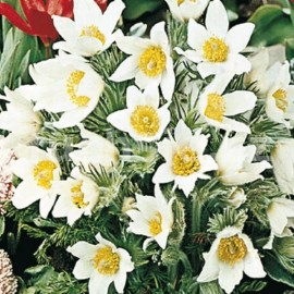 Koniklec bílý (Pulsatia Vulgaris Alba)