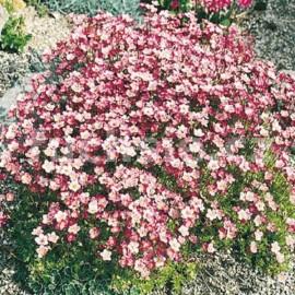 Lomikámen (Saxifraga Ardensii)