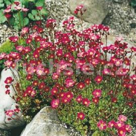 Lomikámen (Saxifraga) červený