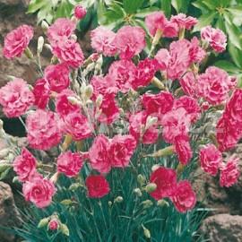 Karafiát (Dianthus Alwoodii)