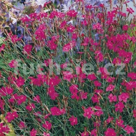 Karafiát skalkový (Dianthus Deltoides)