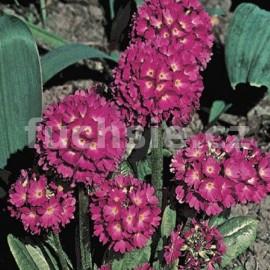 Petrklíč zoubkatý (Primula Denticulata Rubra)