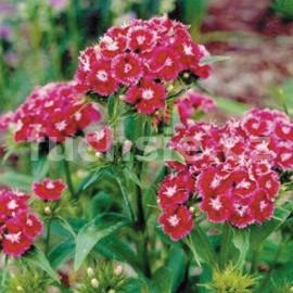 Karafiát (Dianthus Barbatus Swent Willi)