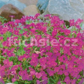 Tařička (Aubrieta Deltoides Royal Red)