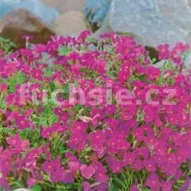 Tařička (Aubrieta Deltoides Royal Red)