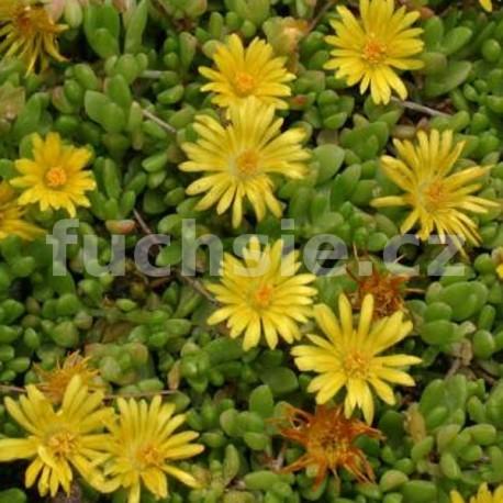 Delosperma- žluté